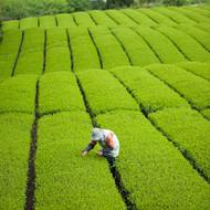 緑茶のプランテーション_Japan²