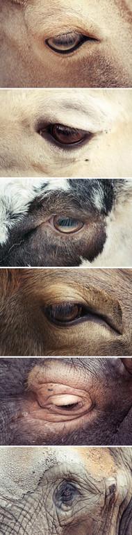 摄影师Oscar Ciutat的一组唯美的动物眼部的摄影,让你从它们细腻的神情中看到关于动物心中的另一番世界