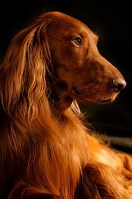 狗狗优雅摄影