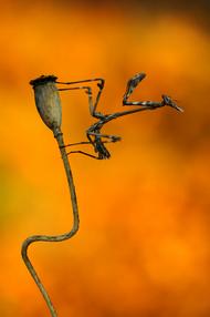螳螂 罂粟