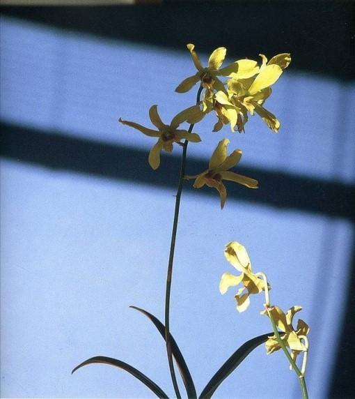 静物摄影: 罗伯特·梅普尔索普的花卉摄影