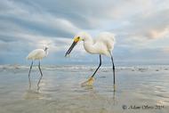 照片白鹭亚当斯鸟类佛罗里达州雪白鹭埃斯特罗泻湖加尔卡布兰卡信息