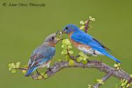 PhotoBlueBirdNestingPairbyAdamsSerrabirdsfloridabackyardbluebird