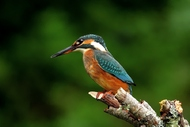 照片翠鸟的聪明摄影鸟类自然宏花卉动物蝴蝶聪明insecte