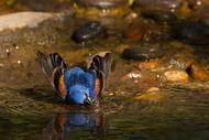 照片一沐浴蓝色朱雀肯尼萨拉查鸟水自然野生动物沐浴观鸟蓝色朱雀猪毛翠