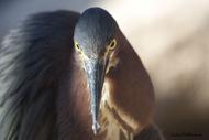 照片直接视图安德烈Villeneuve鸟类视图鹭绿色