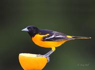 PhotoOJTimebyGerrySibellbirdsnatureanimalswildlifeoriolesbaltimoreoriole