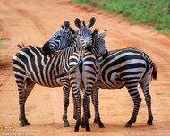 动物摄影  斑马