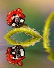 微距摄影:七星瓢虫