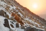 ИВАН КИСЛОВ摄影作品:狐狸