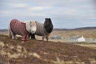苏格兰穿毛衣的短腿小马