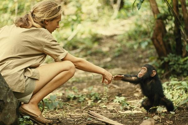 纪实摄影:国家地理10张经典照坦桑尼亚保护区,《国家地理》特邀嘉宾、灵长类动物学家珍妮古道尔与黑猩猩亲密玩耍