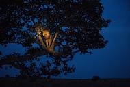 乌干达伊丽莎白女王公园,一只狮子努力爬上树去休息。(摄影师:Joel Sartore)  纪实摄影:国家地理10张经典照