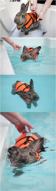 这只患上关节炎的兔子,必须每日穿上救身衣进行游泳水疗来恢复健康