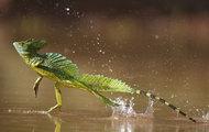 看蜥蜴的水上漂!!好有技术含量啊!摄影Bence Mate