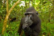 黑冠猕猴,只生活在印度尼西亚的一个岛上的