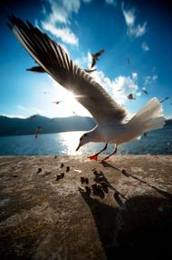 《滇池海鸥》 作品编号:001 作者:吴虎峻 拍摄地:云南昆明。 每年冬天,无数的红嘴鸥都会飞到昆明,盘旋于滇池上空。红嘴鸥已然成为了昆明的标志之一。图中摄影师在海埂大坝上用鸥粮将海鸥引诱到镜头前面,用广角镜头抓住了它展翅的一瞬间。