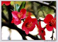 红彤彤的酸木瓜花