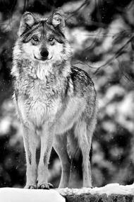 由于狩猎和气候变化等原因,墨西哥灰狼的数量一年比一年少,野外仅有50只左右。 作者 Scott Denny