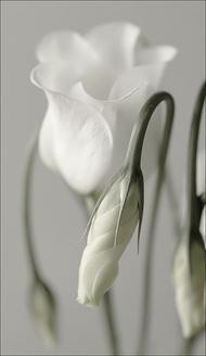 白色花骨朵