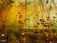 加拿大温哥华岛的雪松湖,一群小蝌蚪在睡莲茎干丛中游动。