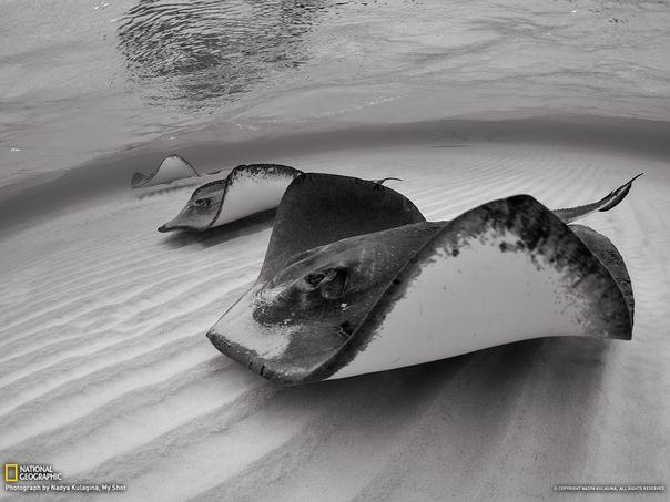 """在大开曼岛的沙洲,黄貂鱼群排列成直线,优雅地""""飞翔""""。"""