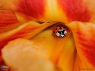 一只瓢虫从黄花菜芯里往外爬。