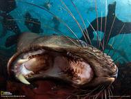 """南非开普敦豪特湾的海豹岛,一只软皮海豹张开大嘴,露出尖尖的长牙。摄影师史蒂文本杰明表示:""""软皮海豹是我最喜欢拍摄的动物之一。它们好奇心很强,活泼好动,也因此很难拍摄"""