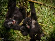 卢旺达火山国家公园的两只大猩猩幼仔,正在嬉戏打闹,玩得不亦乐乎