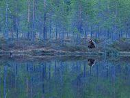 摄影师Sylwia Domaradzka花了16个小时的时间,终于在午夜等到了熊的出现。这是当天出现的唯一一头熊,露面之后又匆匆离开。图片摄于芬兰,熊的栖息地呈现出梦幻的色彩。