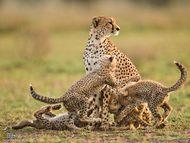 """坦桑尼亚的塞伦盖蒂平原,年轻的猎豹妈妈""""伊塔""""密切注视着四周的动向,4个只有12周大的孩子正在玩摔跤。根据一项长期研究,少量雌性猎豹便能抚养大量幼仔,堪称""""超级妈妈"""""""