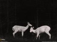 夜晚,在美国密歇根州大岛(Grand Island)的树林中,两头鹿正在活动。这是 George Shiras早期的闪光灯摄影作品,他是最早利用闪光灯技术和绊线摄影技术拍摄动物夜间行为的摄影家。1906年7月期的国家地理杂志首次刊登了 George Shiras拍摄的野生动物夜间活动影像。