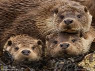 在苏格兰东部的设得兰群岛,河獭妈妈与它的两个孩子好奇地注视着摄影师的镜头。最近,右边的河獭幼仔遭遇一只螃蟹,结果鼻子受伤。成年河獭并不成双成对地生活在一起,雄性在抚养孩子方面不扮演任何角色。