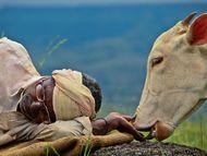 只有在农夫的身旁,小牛才感到安全和放松。当我在周围进行拍摄的时候,它察觉到我的存在,便慢慢走回农夫的身旁。