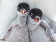 在南极洲拉可罗港,两只刚刚孵化出来的巴布亚企鹅幼仔好奇打量外面的世界,而它们的父母站在一旁。