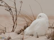 纽约长岛琼斯海滩的一只雪枭,雪白的外衣与周围环境融为一体。这一栖息地一年四季都生活着大量猛禽,吸引着无数摄影师和鸟类爱好者,其中尤以雪枭最受追捧