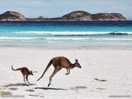 """西澳大利亚埃斯佩兰斯的大角海滩,袋鼠妈妈正带着孩子""""散步""""。准确地说,应该是跳步。"""