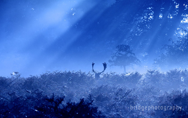 Mark Bridger的野生动物摄影作品:鹿