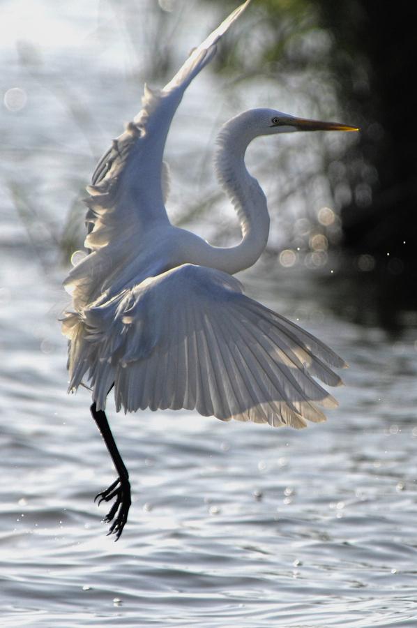 大白鹭:栖息于海滨、湖泊、河流、沼泽、水稻田等水域附近,行动非常机警,见人即飞。白昼或展昏活动,以水种生物为食,食性以小鱼、虾、软体动物、甲壳动物、水生昆虫为主,也食蛙、蝌蚪等。常站在水边或浅水中,用嘴飞快地攫食。迁徙种类。