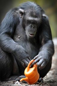 非常可爱的大猩猩